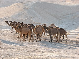 camels, judean desert, bedouin, israel, private tour guide