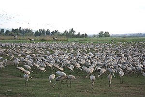 hula valley israel, cranes, bird watching, private tour guide