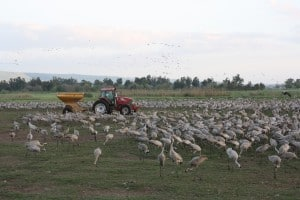 Feeding the Cranes with a Tractor