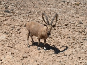 Friendly mail Ibex, do not pet they can be aggressive